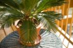 Sago Palm (cycas revolta)